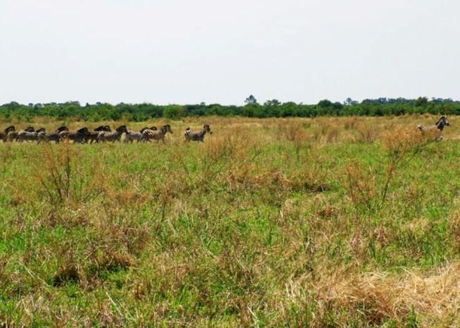 非洲草原上 斑马群里
